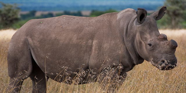 Northern-white-rhinos