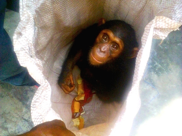 Fiston sent PEGAS a photo of the chimpanzee that was offered for sale in Kinshasa soon after PEGAS left the country