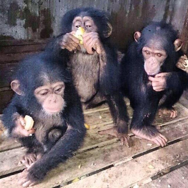 The three chimpanzees FS came to Ghana to buy
