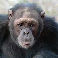 Meet the Chimpanzees | Ol Pejeta Conservancy